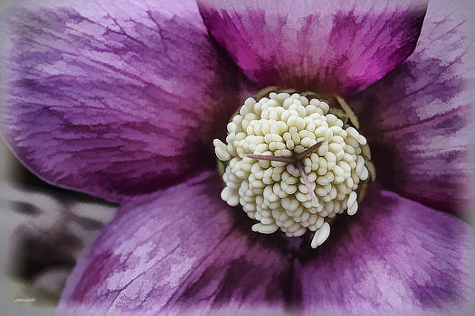 Purple Hellebore by Jaki Miller