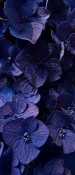 Purple Hydrangea by Joseph Kelley