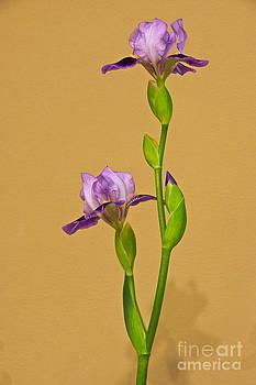Byron Varvarigos - Purple Iris Elegance