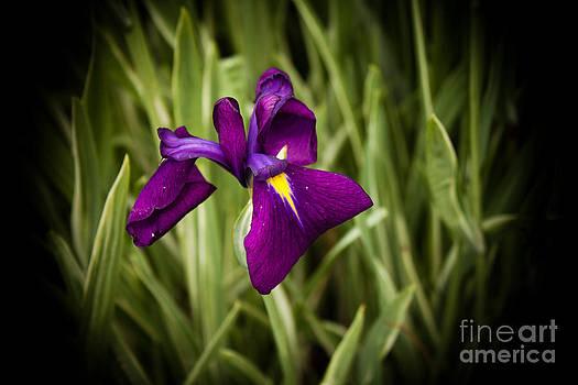 Joann Copeland-Paul - Purple Japanese Iris