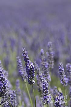 Purple Lavender by Danny Motshagen