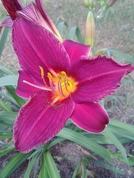 Purple Lilly by Erica  Darknell
