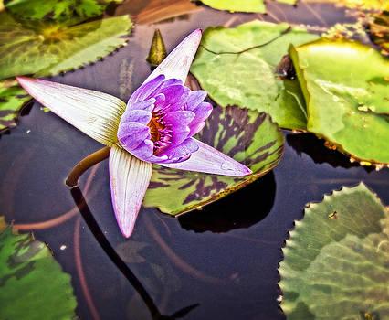 Purple Lotus Flower by Bill Boehm