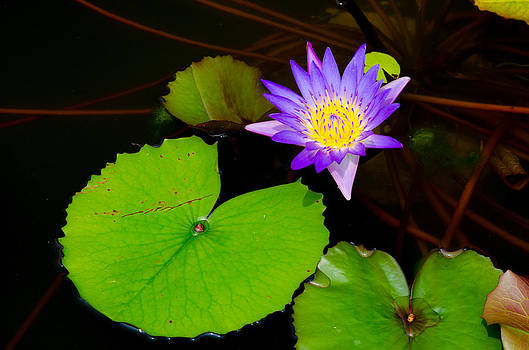 Purple lotus with yellow pollen by Jirawat Cheepsumol
