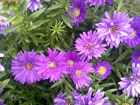 Purple Mums by L and D Design Photography