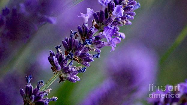 Purple Nature - Lavender Lavandula by Eva-Maria Di Bella