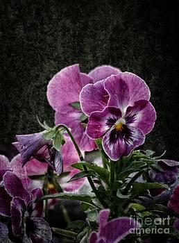 Purple Pansies 2013 by Marjorie Imbeau