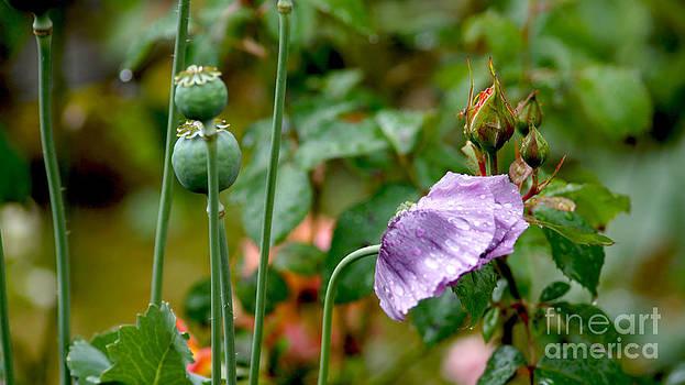 Purple Papaver rhoeas - Poppy by Eva-Maria Di Bella