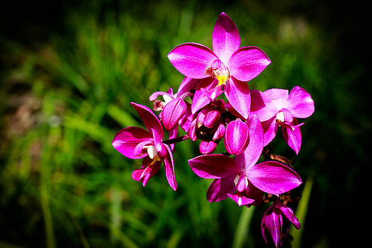 Purple  Philippine Ground Orchid by Donald Chen