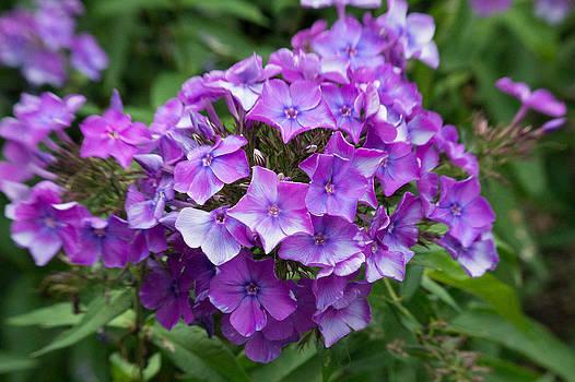 Purple Royale by Kimberly Ayars