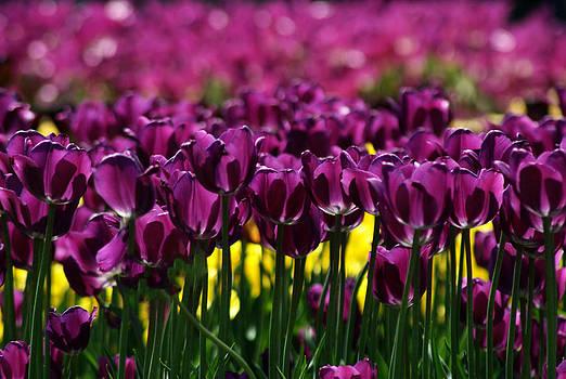 Purple Tulips by Judy Salcedo