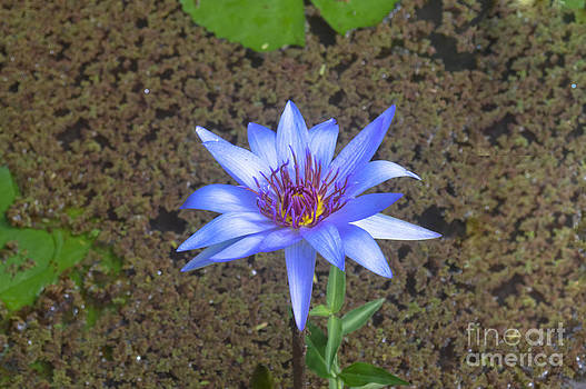 Purple Water Lily by Lisa Cortez