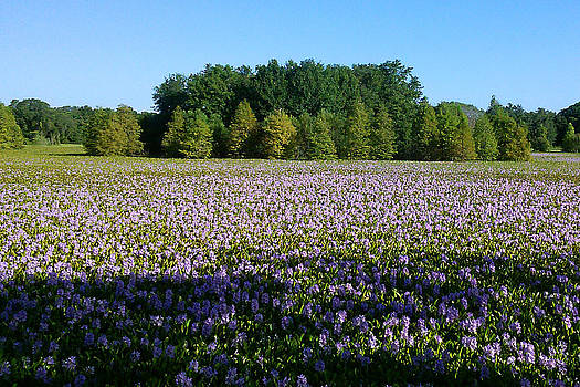 Steve Sperry - Purple Wildflowers