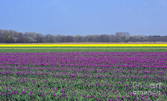 Ausra Huntington nee Paulauskaite - Purple With Golden Lining. Fields Of Tulips Series