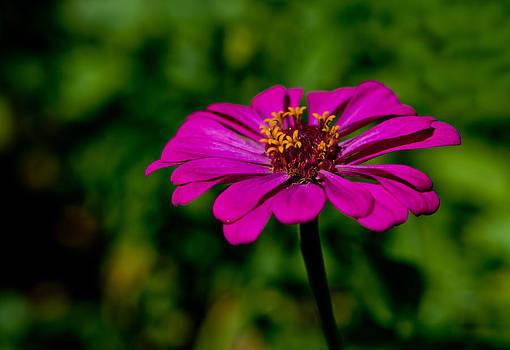 Purple Zinnia by David Kittrell