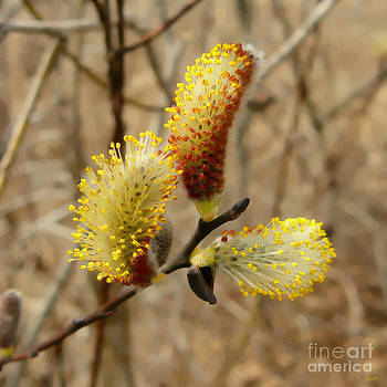 Pussy Willow by Jeff Breiman