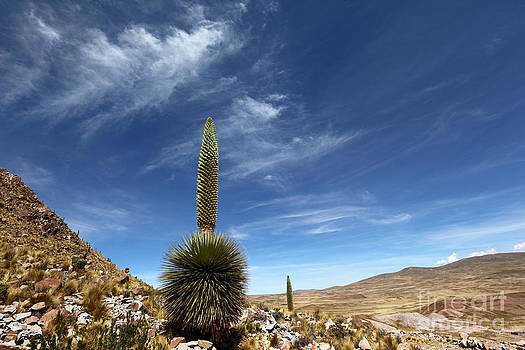 James Brunker - Puya raimondii The Queen of the Andes
