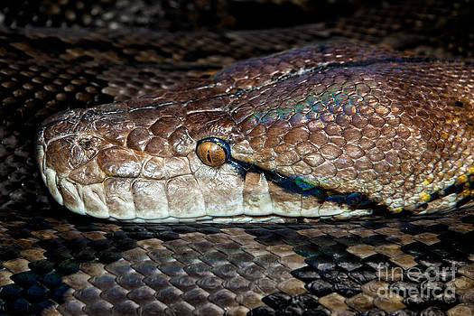 Python by Ann-Charlotte Fjaerevik