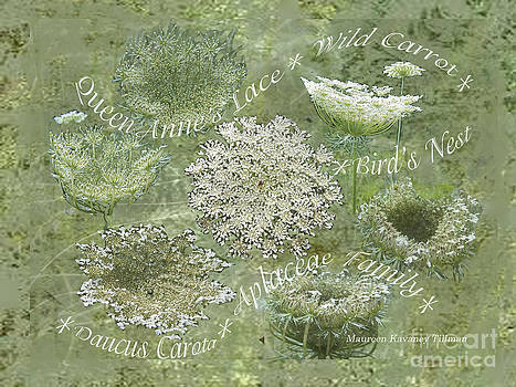 Queen Anne's Lace by Maureen Tillman