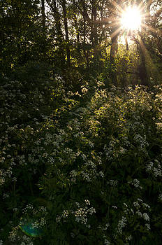 Queen Anne's Lace on the woodland floor by David Isaacson