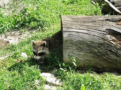 Raccoon by Ausra Huntington nee Paulauskaite