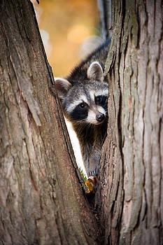 Raccoon portrait by Chad Davis