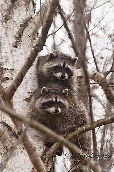 Raccoon Siblings by Danielle Silveira