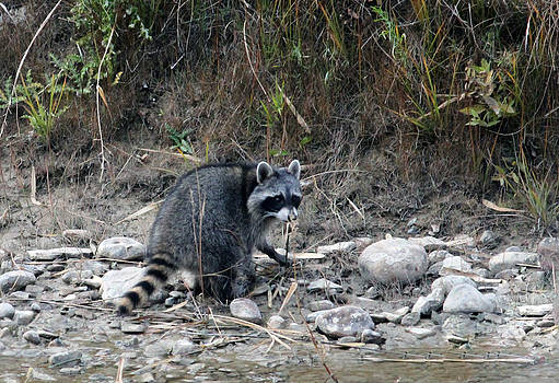 Racoon by Margaret  Slaugh