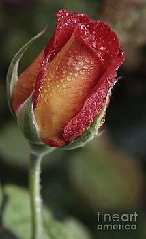 Raindrop Rose by Jennifer Lawrence