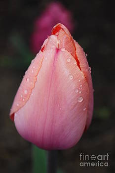 Rain Drop Tulip by Jaime  Manning