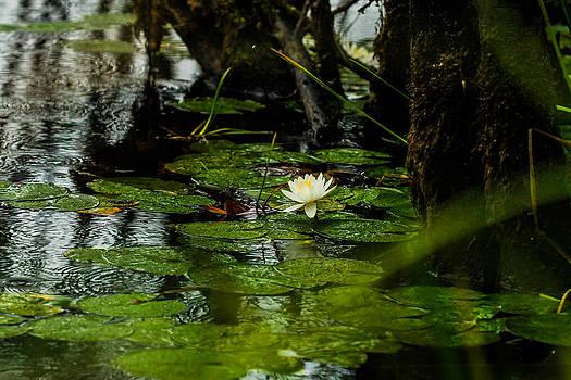 Rain drops on lilypads by Sybil Conley
