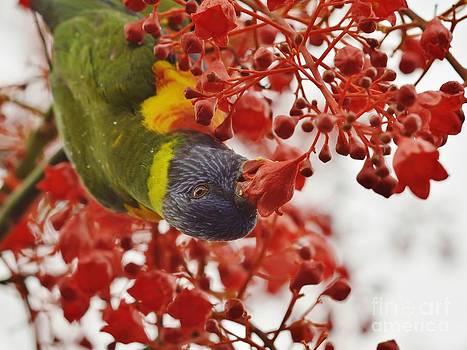 Rain Flecked Rainbow Lorikeet Busy Eating Nectar by Tomislav Vucic
