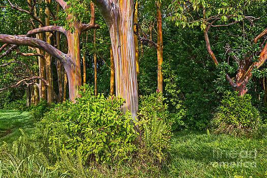 Jamie Pham - Rainbow Grove - Eucalyptus trees in Maui.
