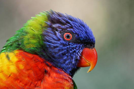 Rainbow Lorikeet by Colleen Renshaw