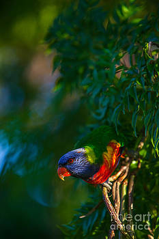 Rainbow Lorikeet Trichoglossus haematodus by Gabor Pozsgai