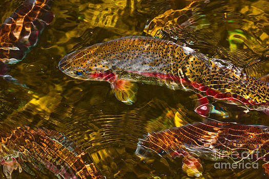 Rainbow Trout by Cari Gesch