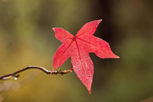 Michelle Wrighton - Raindrops on Red Fall Leaf