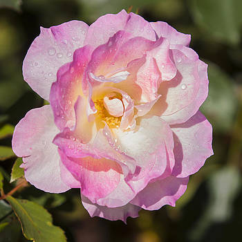Michelle Wrighton - Raindrops on Rose Petals