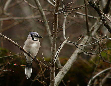Rainy Day Jay by Jim Johnson