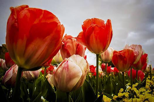 Rainyday Tulips by Elizabeth Wilson