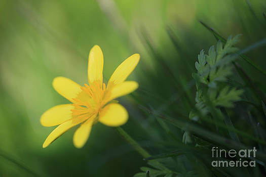 LHJB Photography - Ranunculus ficaria - yellow buttercup