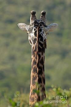 Rare Faceless Giraffe by Ashley Vincent