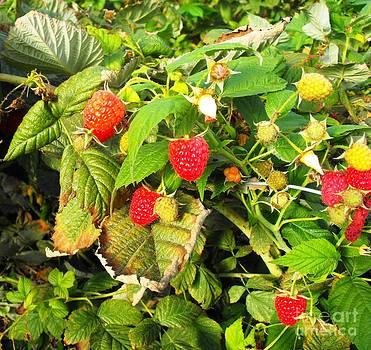Raspberries by Lisa Gifford