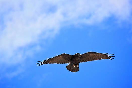 Raven by Joe Urbz