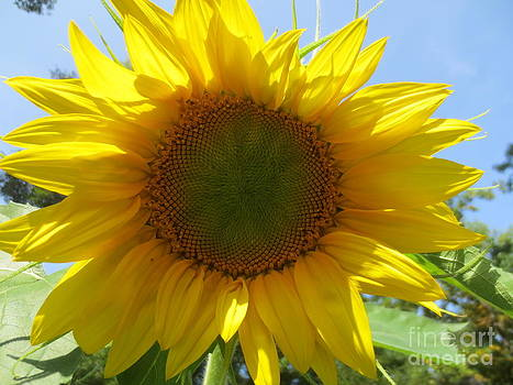 Real Sunflower by Sandra Spincola