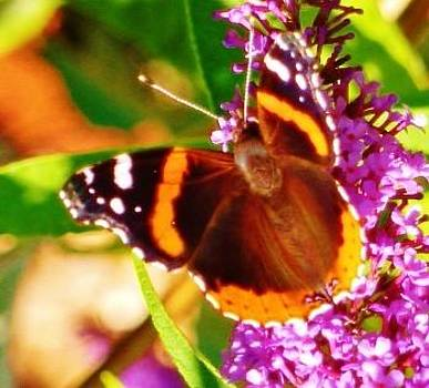 Red Admiral on a butterfly bush by Ann Michelle Swadener
