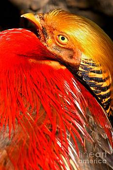 Adam Jewell - Red And Golden Pheasant
