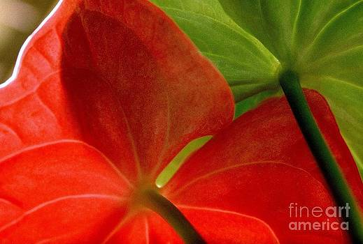 Red and Green Anthurium by Ranjini Kandasamy