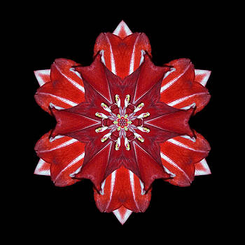 Red and White Amaryllis VII Flower Mandala by David J Bookbinder