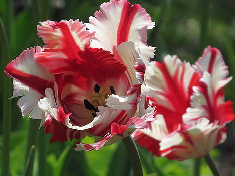 Alfred Ng - red and white parrot tulips